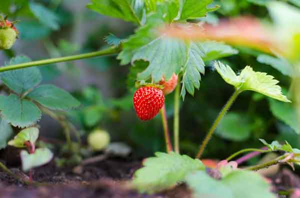 Strawberry_Agriculture_Healthy_Sustainable_Chitosan
